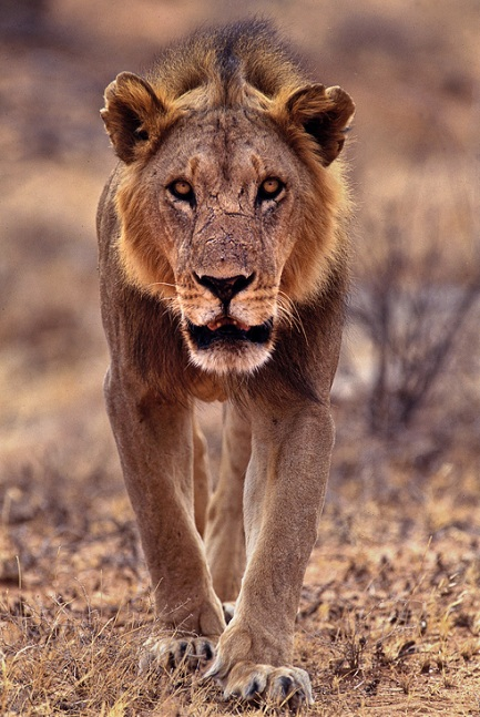 lioness 25 Magnificent Pictures of LIONS