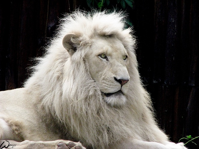 http://twistedsifter.files.wordpress.com/2011/01/white-lion.jpg