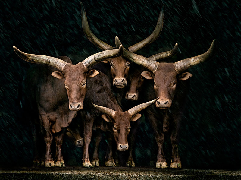 Picture of the Day: Watusi Family Portrait
