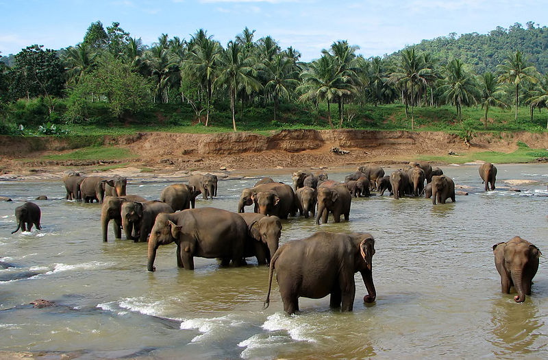 elephant orphanage at pinnawala sri lanka Top 10 Facts of the Worlds Largest Land Animal [20 pics]