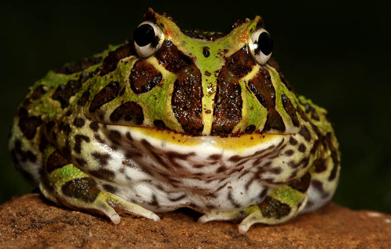 frog closeup 14 10 Reasons Frogs Are Awesome [25 Pics]
