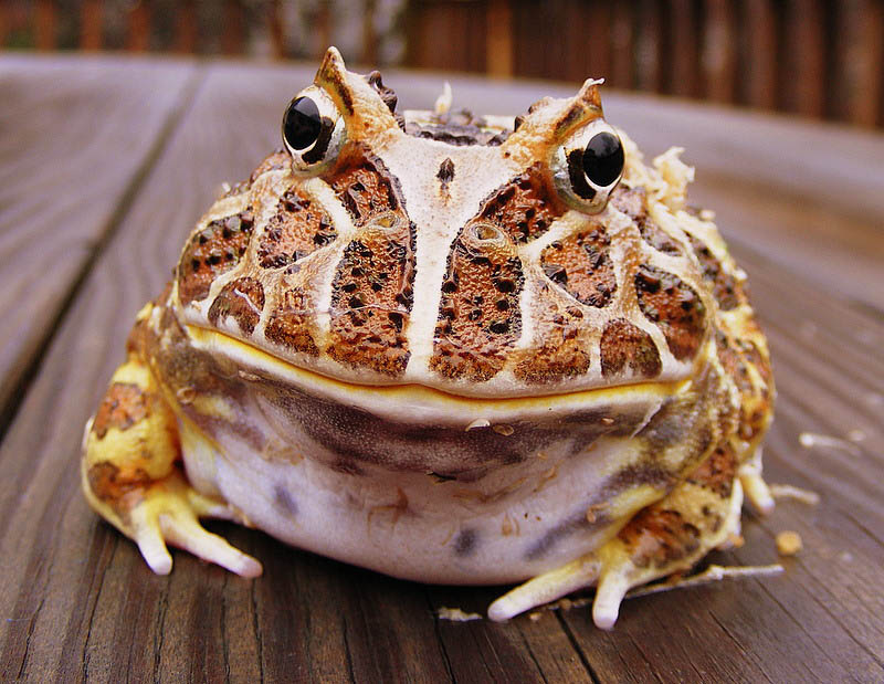 frog closeup 18 10 Reasons Frogs Are Awesome [25 Pics]