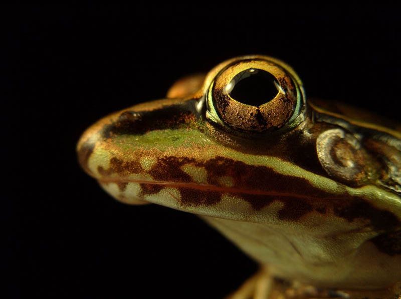 frog closeup 8 10 Reasons Frogs Are Awesome [25 Pics]