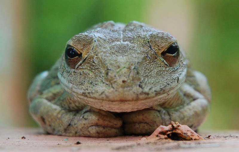 frog closeup 9 10 Reasons Frogs Are Awesome [25 Pics]
