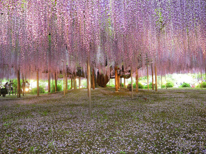 Picture of the Day: Giant Wisteria Vines in Japan