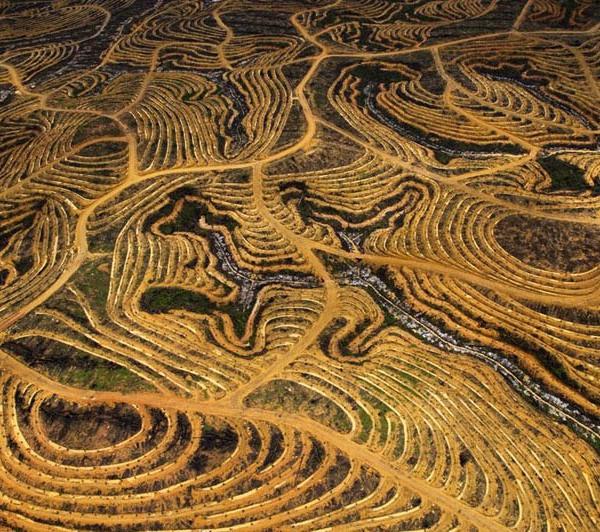 New Palm oil plantation, Borneo, Indonesia