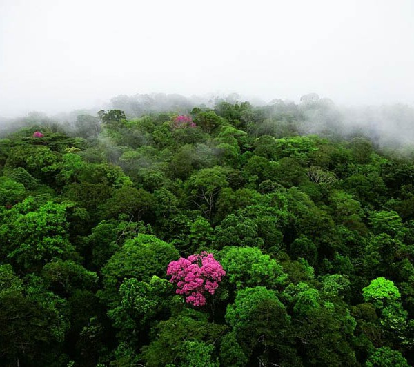 Pink ebony on the Kaw mountain, French Guiana