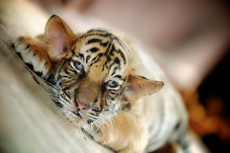 baby tiger The Mighty Tiger: 15 Facts and 25 Stunning Photos