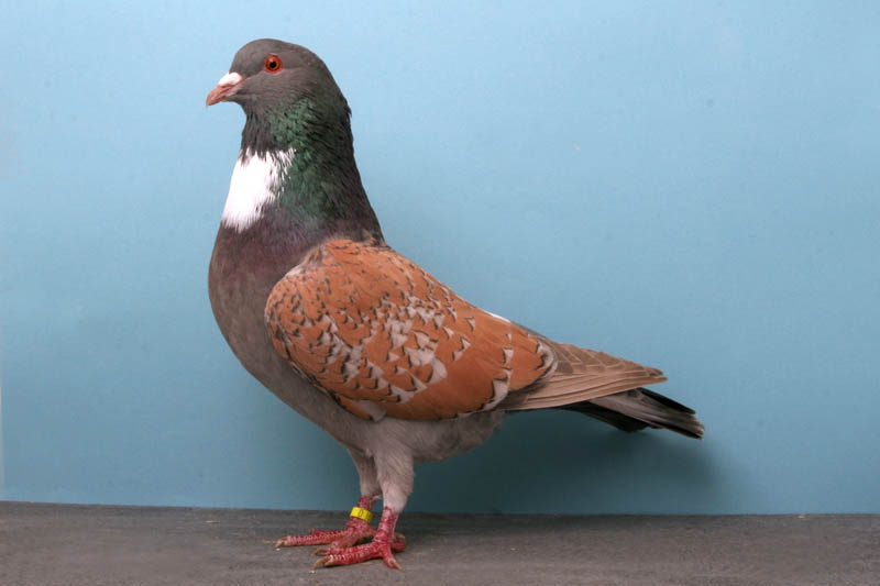cauchois jim oldham Bizarre Gallery of Grand National Champion... Pigeons!?! [30 pics]