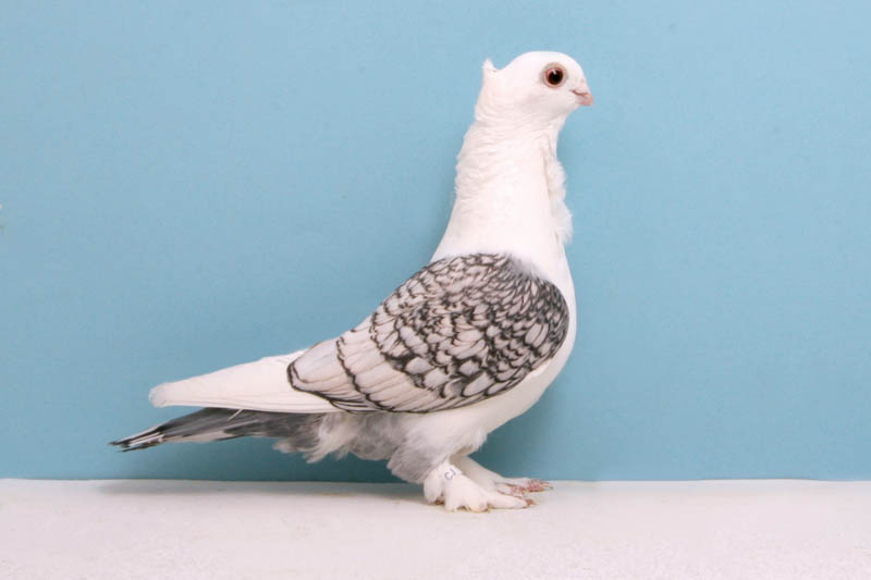 classic oriental frill larry jolly Bizarre Gallery of Grand National Champion... Pigeons!?! [30 pics]