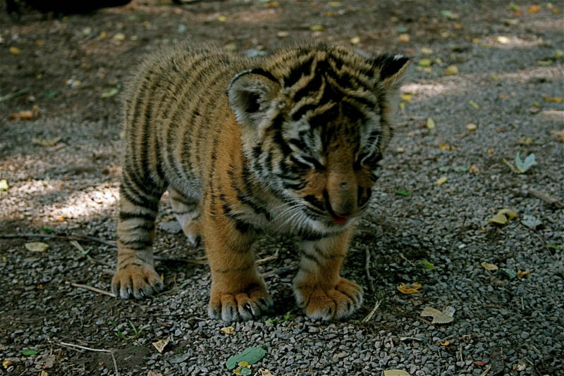 cute baby tiger cub The Mighty Tiger: 15 Facts and 25 Stunning Photos