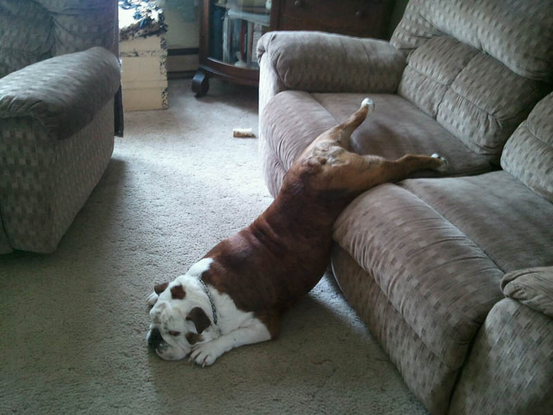 dog sleeping on ground and couch funny The Friday Shirk Report   Volume 103