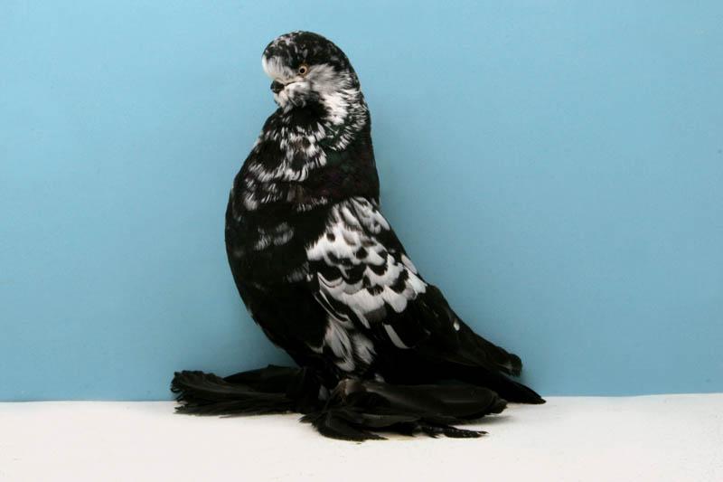 elf muffed t larry deckert Bizarre Gallery of Grand National Champion... Pigeons!?! [30 pics]