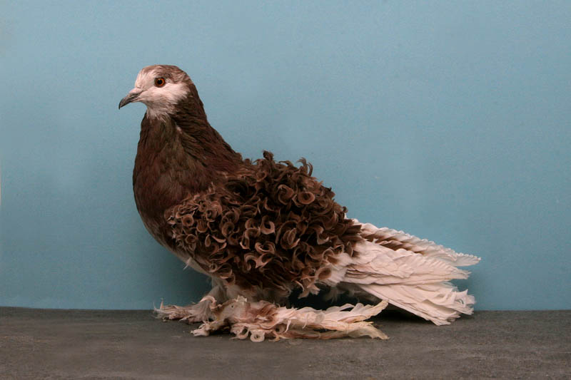 frillback tally mezzanatto Bizarre Gallery of Grand National Champion... Pigeons!?! [30 pics]