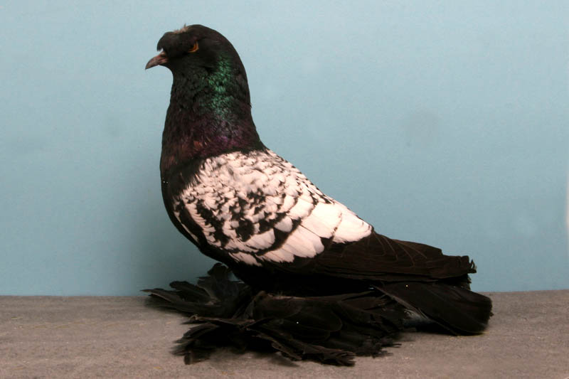 german beakcrested trumpeter mike cobb Bizarre Gallery of Grand National Champion... Pigeons!?! [30 pics]