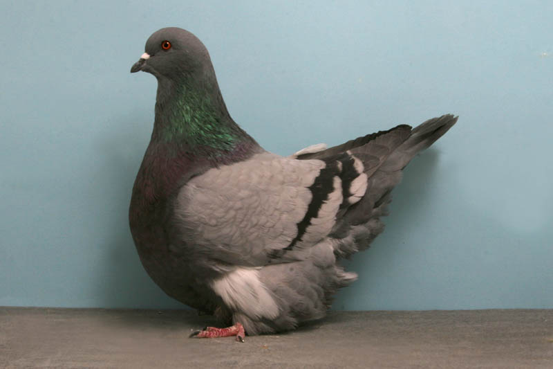 gros mondain john heppner Bizarre Gallery of Grand National Champion... Pigeons!?! [30 pics]