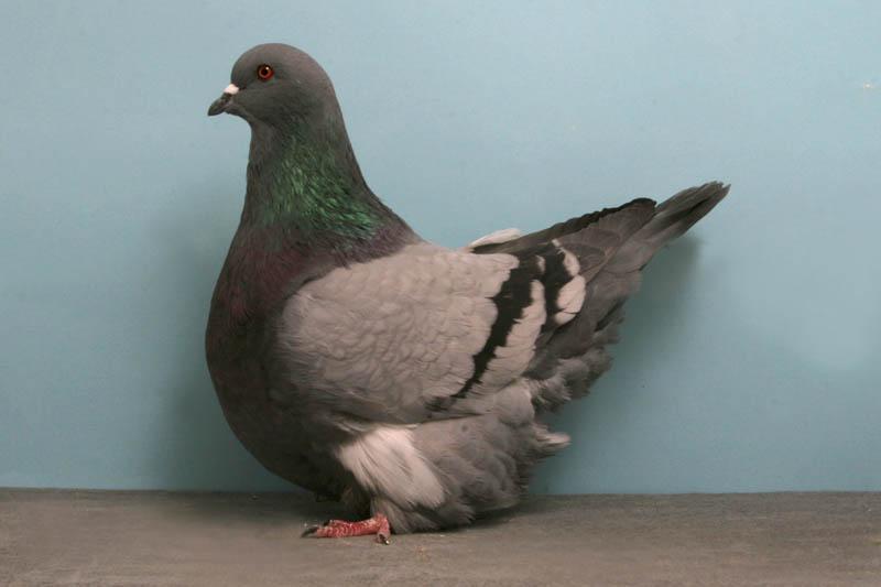 gros mondain john heppner Bizarre Gallery of Grand National Champion... Pigeons!?! [30 pics]