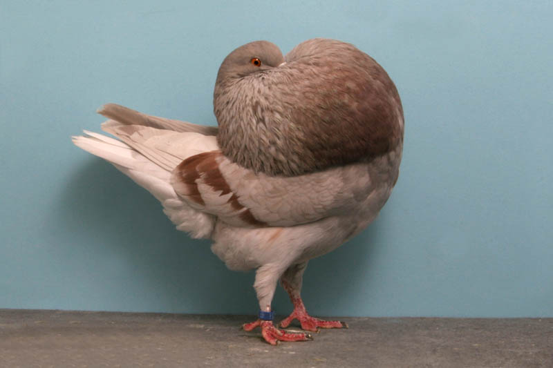 holle cropper larry jolly Bizarre Gallery of Grand National Champion... Pigeons!?! [30 pics]