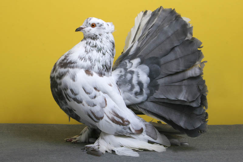 indian fantail rick schlais Bizarre Gallery of Grand National Champion... Pigeons!?! [30 pics]