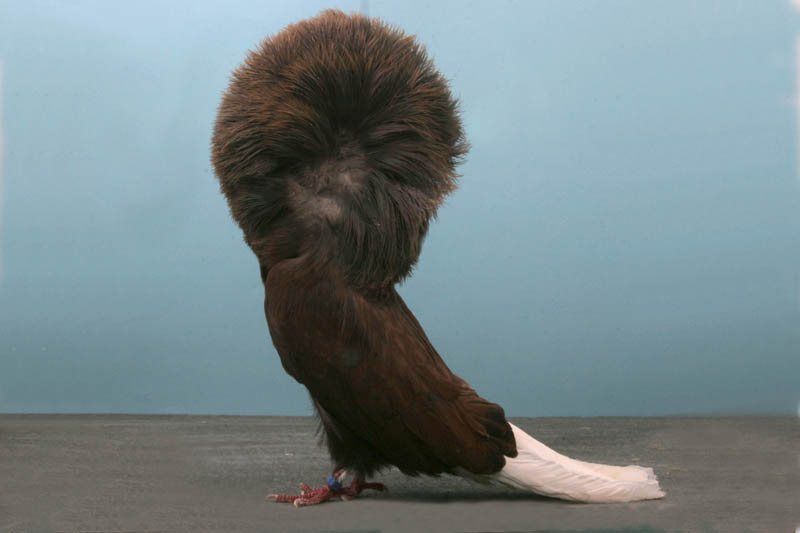 jacobin jim ecker Bizarre Gallery of Grand National Champion... Pigeons!?! [30 pics]