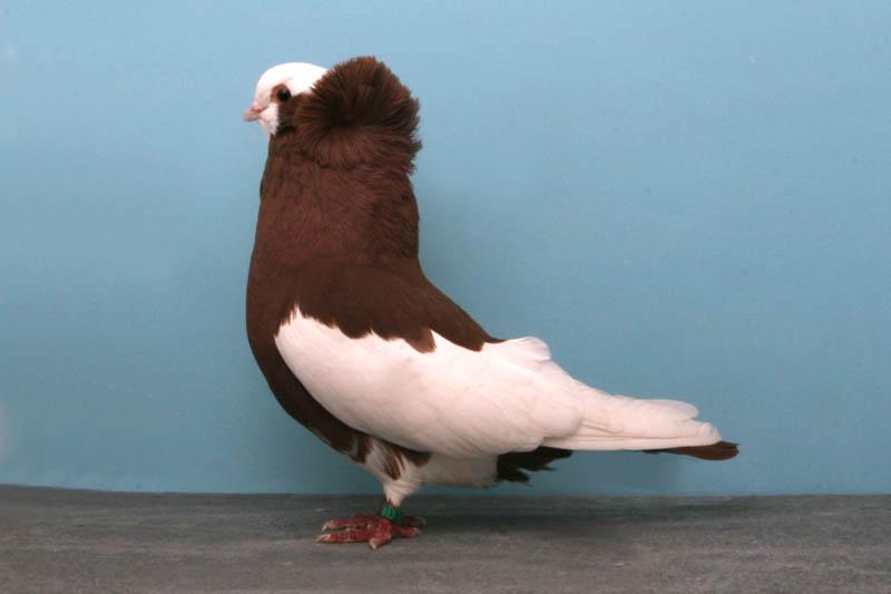 komorner tumbler darrell sebastian Bizarre Gallery of Grand National Champion... Pigeons!?! [30 pics]