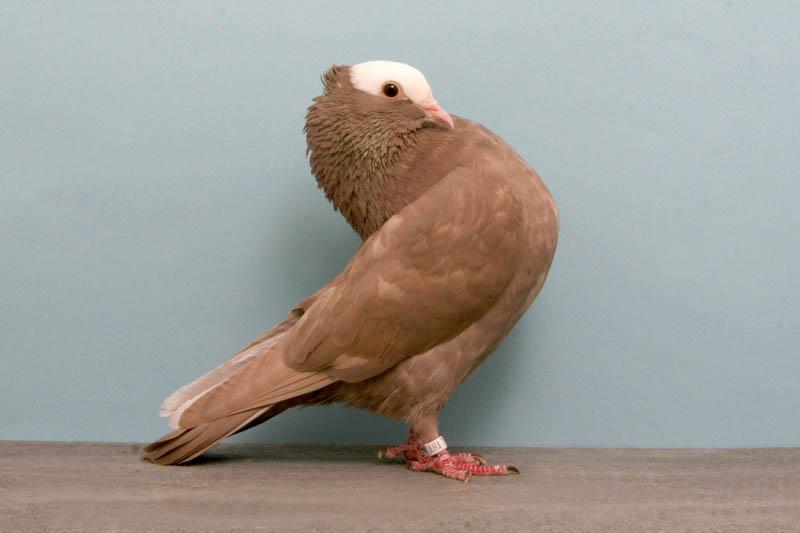mookee james jensen Bizarre Gallery of Grand National Champion... Pigeons!?! [30 pics]