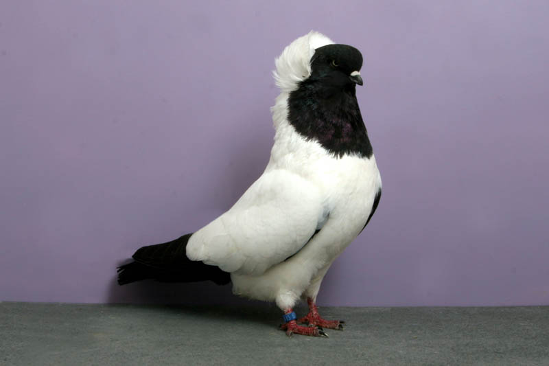 nun john heppner Bizarre Gallery of Grand National Champion... Pigeons!?! [30 pics]