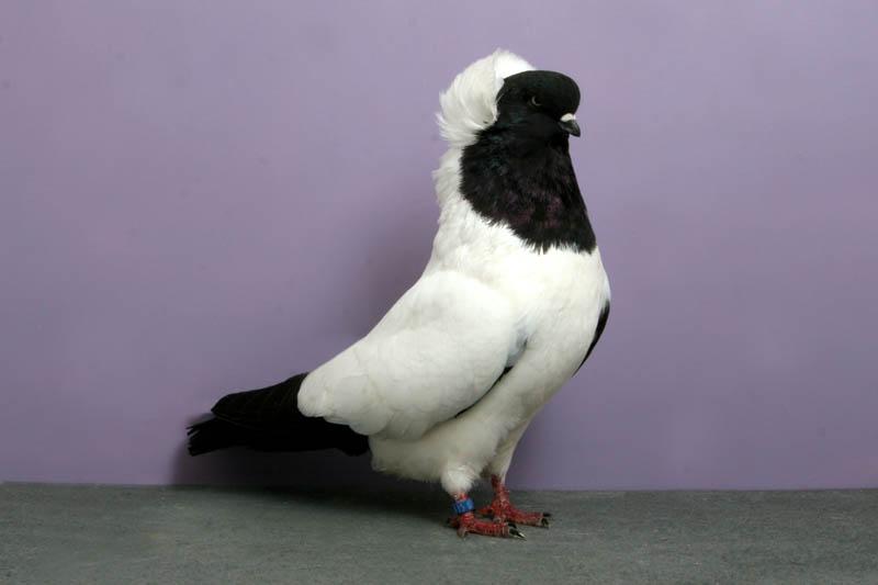 nun john heppner Bizarre Gallery of Grand National Champion... Pigeons!?! [30 pics]