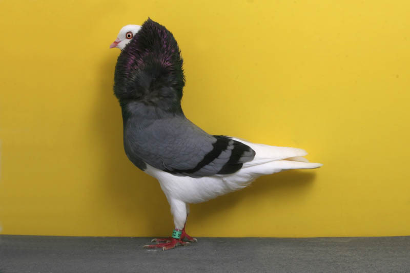 odc layne gardner Bizarre Gallery of Grand National Champion... Pigeons!?! [30 pics]