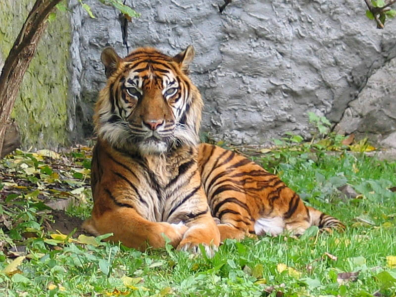 panthera tigris sumatran subspecies The Mighty Tiger: 15 Facts and 25 Stunning Photos