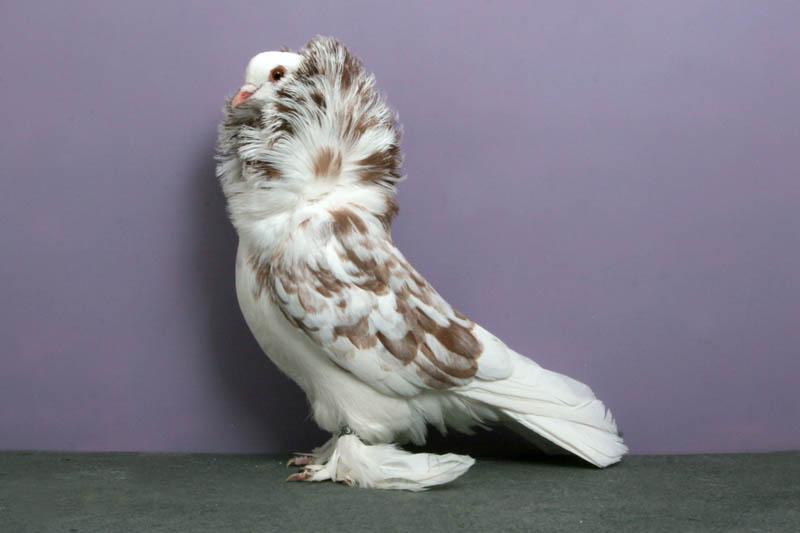 saint isaac carillo Bizarre Gallery of Grand National Champion... Pigeons!?! [30 pics]