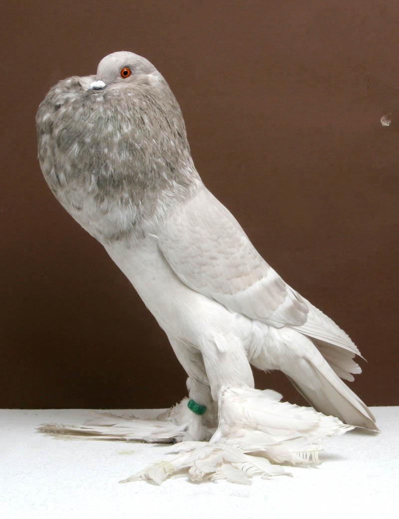 saxon pouter tally mezzanatto Bizarre Gallery of Grand National Champion... Pigeons!?! [30 pics]