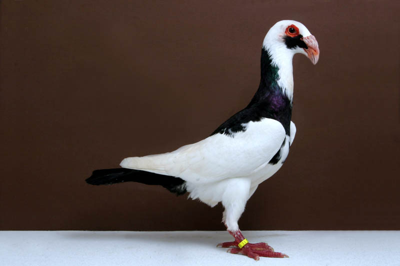 scandaroon john heppner Bizarre Gallery of Grand National Champion... Pigeons!?! [30 pics]