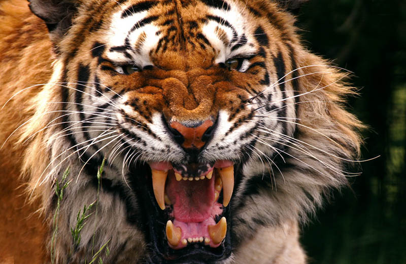scary tiger The Mighty Tiger: 15 Facts and 25 Stunning Photos