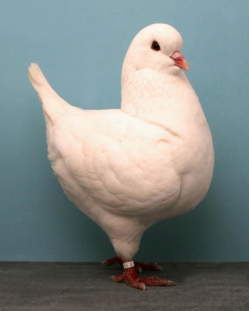 show king joe neehercot Bizarre Gallery of Grand National Champion... Pigeons!?! [30 pics]