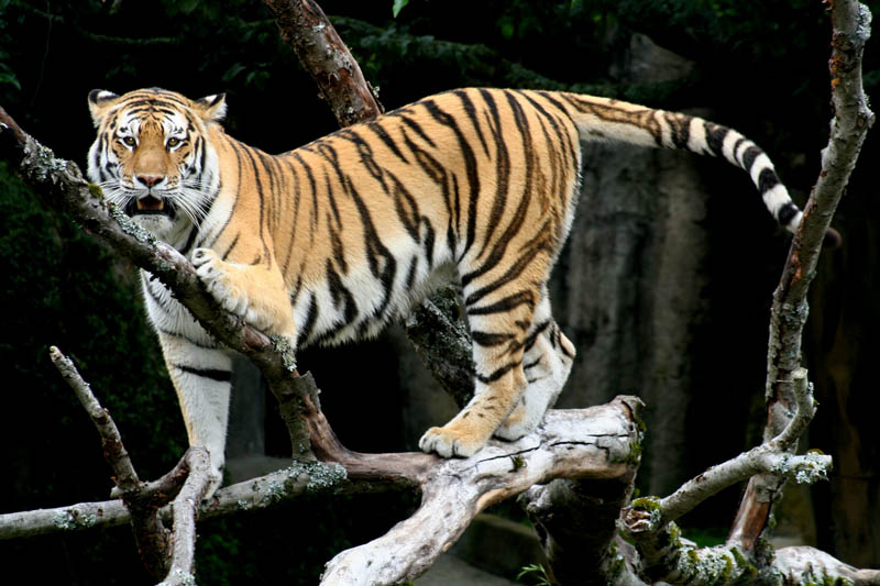 siberian tiger sf The Mighty Tiger: 15 Facts and 25 Stunning Photos