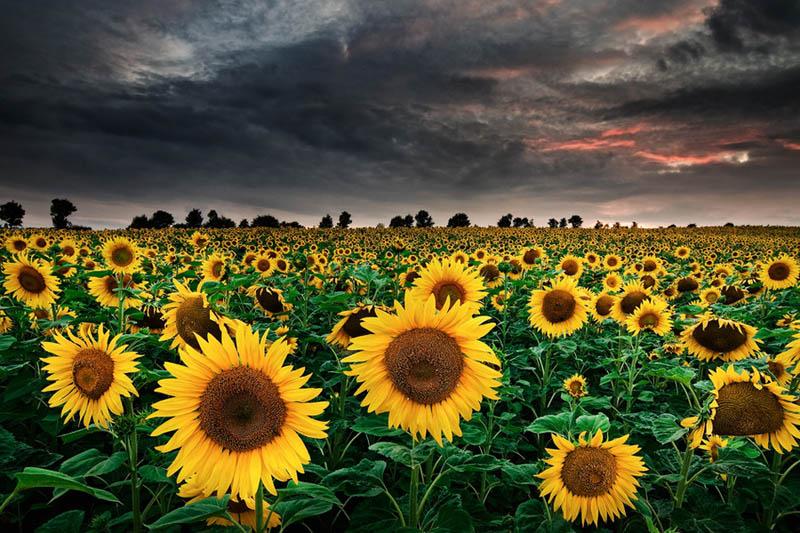 sunflower 8 wallpaper 1920x1080 - photo #42