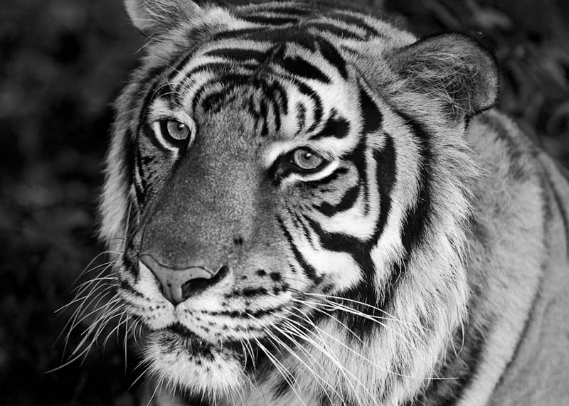 tiger black and white The Mighty Tiger: 15 Facts and 25 Stunning Photos