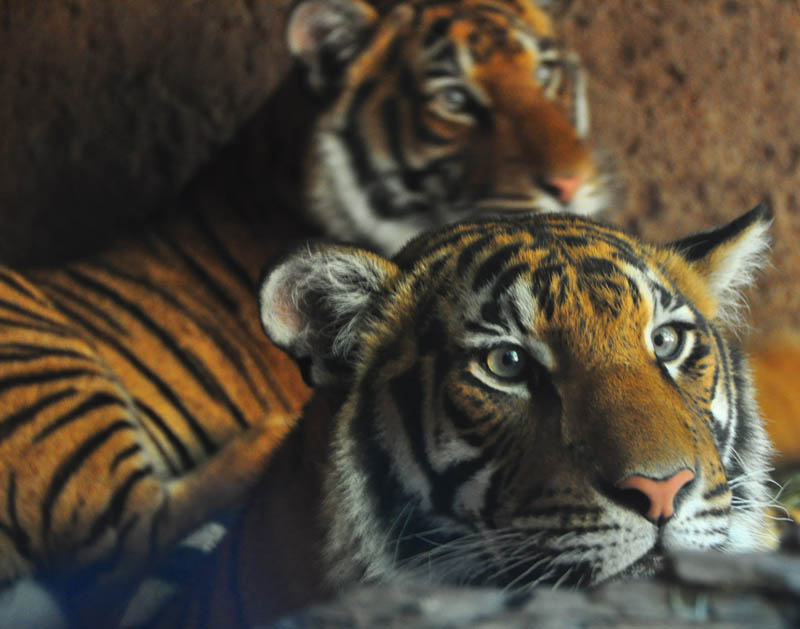 tiger couple The Mighty Tiger: 15 Facts and 25 Stunning Photos