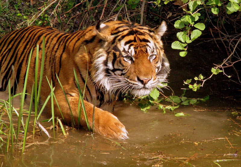 tiger hunting The Mighty Tiger: 15 Facts and 25 Stunning Photos