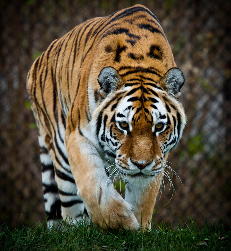 tiger on the prowl The Mighty Tiger: 15 Facts and 25 Stunning Photos