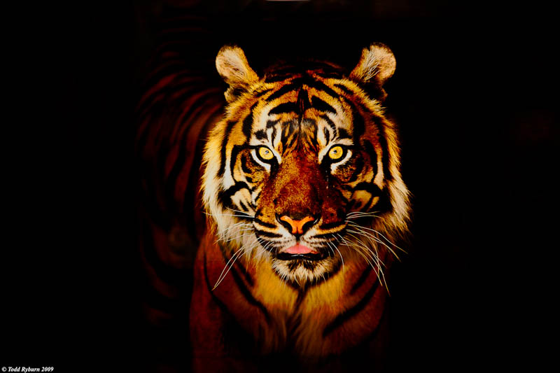 tiger poster The Mighty Tiger: 15 Facts and 25 Stunning Photos