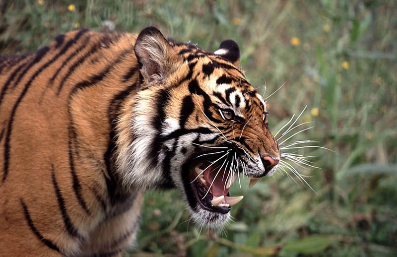 tiger snarl The Mighty Tiger: 15 Facts and 25 Stunning Photos