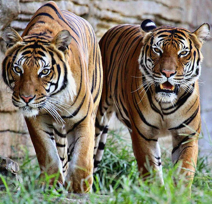 two tigers The Mighty Tiger: 15 Facts and 25 Stunning Photos