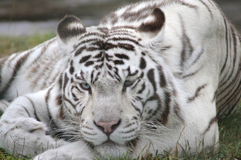 white tiger The Mighty Tiger: 15 Facts and 25 Stunning Photos