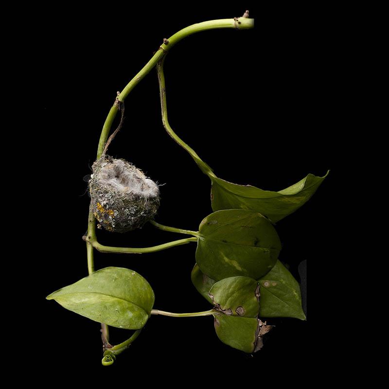 allens hummingbird sharon beals 25 Stunning Photographs of Birds Nests