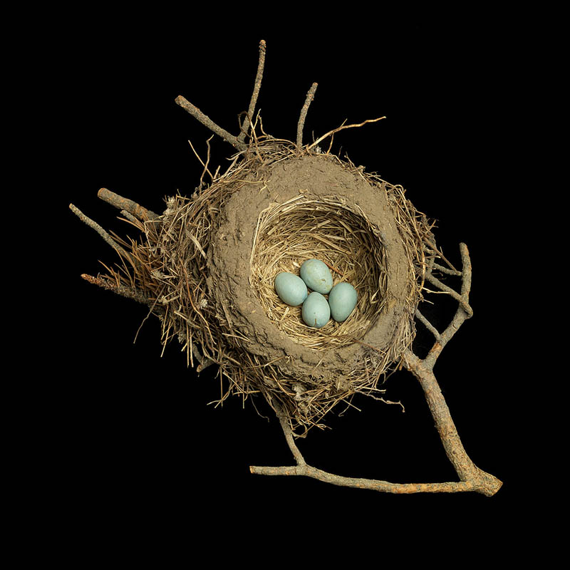 american robins nest sharon beals The Giant Communal Bird Nests of Sociable Weavers