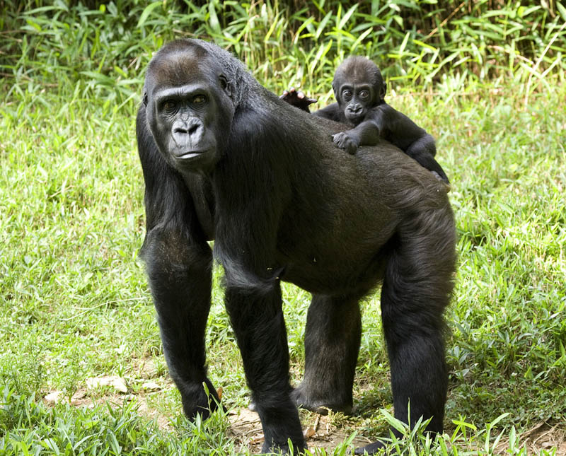 baby gorilla with mother 25 Remarkable Photographs of Gorillas
