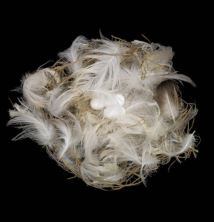 bank swallow nest sharon beals 25 Stunning Photographs of Birds Nests