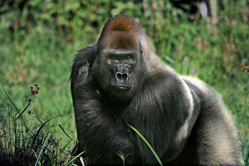 big gorilla 25 Remarkable Photographs of Gorillas